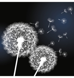 Black background with white dandelions vector image