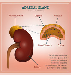 Adrenal gland image vector