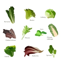 Set of salad greens leafy vegetables salad icons vector