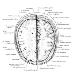 cross section of head 3 cm above supraorbital vector image vector image