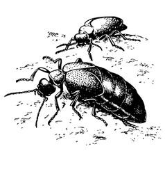 beetle meloe proscarabaeus vector image vector image