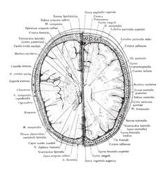 cross section of head 2 cm above supraorbital vector image