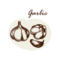 Hand drawn garlic herbs and spices sketch vector