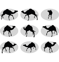 camel in Trotting pose vector image