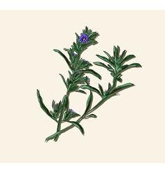 Rosemary sketch vector