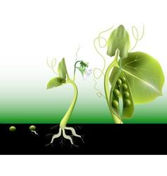 growing peas vector image
