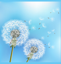 Blue background with flowers dandelions vector
