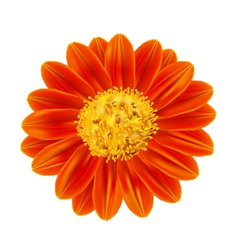 Mexican sunflower weed vector