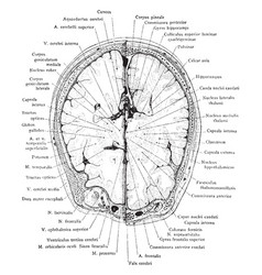 cross section of head at supraorbital margin vector image vector image