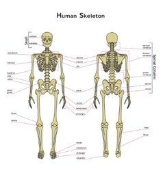 Human skeleton front and rear view with vector
