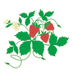blossom strawberry vector image