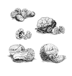 Hand drawn set of cabbage sketch vector image