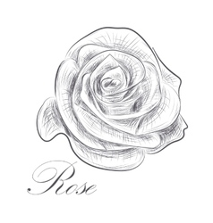 Hand drawn rose on white background vector image vector image