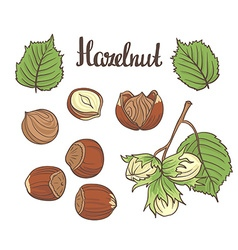 Set of detailed hand drawn hazelnuts isolated on vector