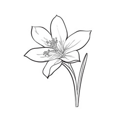 Delicate single crocus spring flower with stem and vector