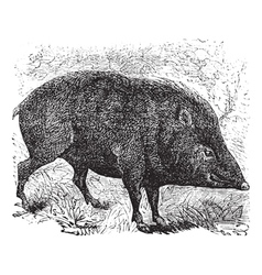 Collared peccary vintage engraving vector