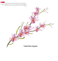 Vanda miss joaquim national flower of singapore vector