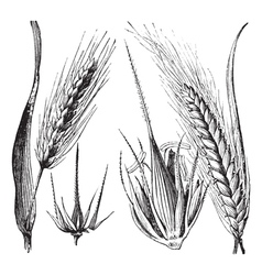 Common barley vintage engraving vector
