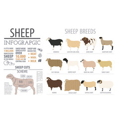 Sheep breed infographic template farm animal flat vector