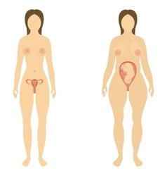 The woman before and during pregnancy vector