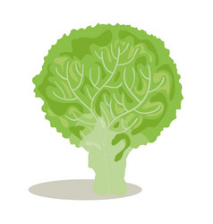 Broccoli fresh and healthy vegetable vector