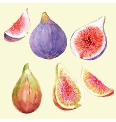 Watercolor hand drawn figs vector