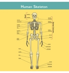 Human Skeleton with explanations vector image
