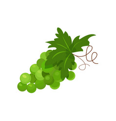branch of green grapes cartoon vector image
