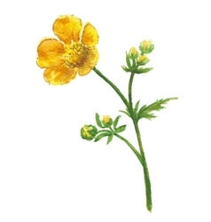 Buttercup yellow flower vector