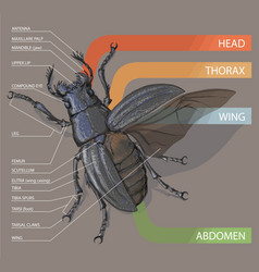 diagram of the beetle tutorial realistic vector image vector image