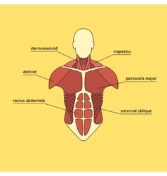 Muscle system of human thorax vector