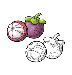 Whole and half mangosteen vintage vector