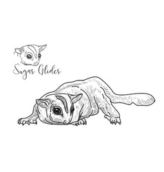 Drawing of sugar glider on white background vector image