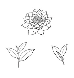 Sketch lotus flower tea leaves set vector