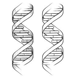 Doodle dna double helix vector