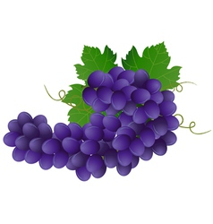 Image of violet grape with green leaves vector
