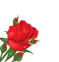 Red rose isolated on white background vector image