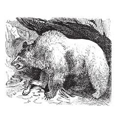 Syria bears vintage engraving vector image