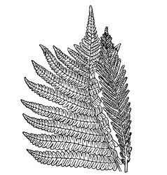 Plant onoclea struthiopteris vector