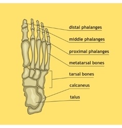 Foot bones with explanation vector