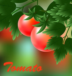 Red juicy ripe tomatoes growing on the green vector