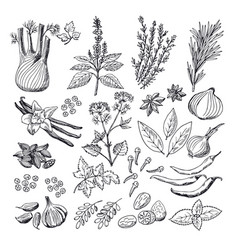 sketch of spices and herbs vintage vector image