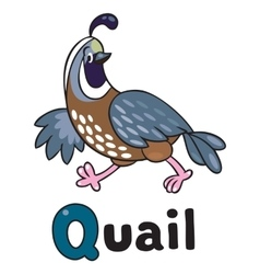 Little quail for ABC Alphabet Q vector image vector image