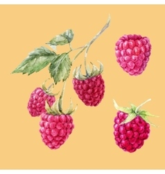 Watercolor hand drawn raspberries vector image