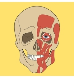 Human skull with muscle system vector