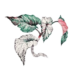Garden coleus plant vector