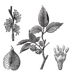 Elm vintage engraving vector