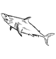 shark engraving vector image vector image