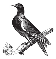 Wood pigeon vintage engraving vector