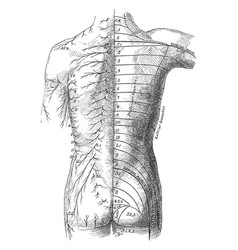 Posterior view of the cutaneous nerves of trunk vector
